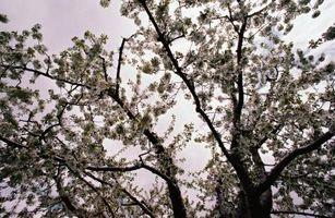 Hvor dyrkes æbletræer?