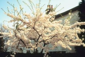 Klistret ting på grenen af en dobbelt grædende Cherry Tree