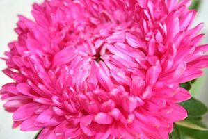 Pink flerårige blomster