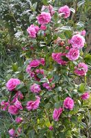 Hvordan at tage sig af Rose buske