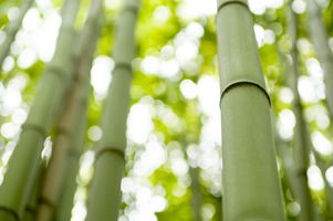 Karakteristika & tilpasninger af Bengalen bambus