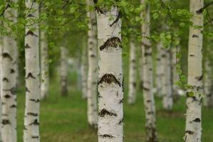 Anvendelsesmuligheder for Birk barkflis