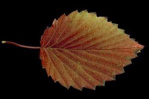 Viburnum vækstrate