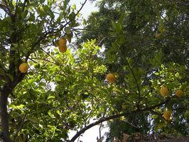 Jeg har en multifarvede Pink citron træ, de små citroner holde falder ud af