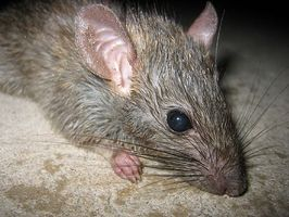 Sådan Fortæl Hvis du har en rotte problem