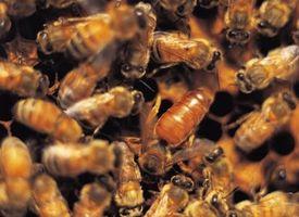 Hvordan til frigive en duft at dræbe bier