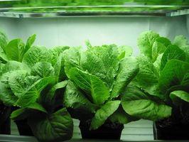 Voksende salat indendørs