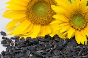 Hvordan man kan tørre & sæson solsikkekerner