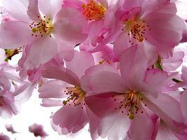 Sygdomme i den japanske grædende Cherry Tree