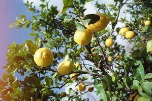 Mug på citrontræer