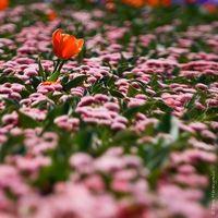 Typer af blomster i Australien
