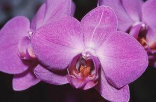 Lilla møl Orchid