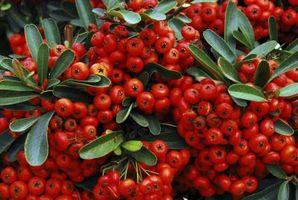 Sådan Treat sorte blade på Holly buske