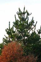 Hvordan til at plante Hemlock træer