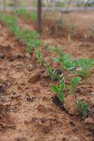 Hvordan man dyrker grøntsager i Zone 10