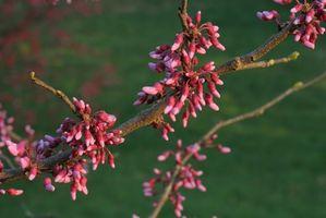 Østlige Pennsylvania blomstrende træer