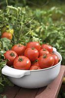 Vil tomater producerer frugt på Suckers?