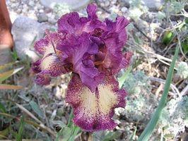 Hvordan man dyrker forskellige former for Iris