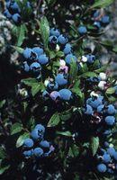 Blueberry buske & bestøvning af blomster