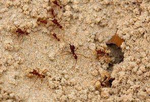 Naturlige måder at dræbe brand myrer