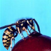 Hvordan at slippe af med hvepse omkring poolen