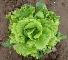 Hvornår man skal plante haven grøntsager