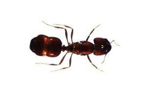 Hvordan til at identificere Ant typer