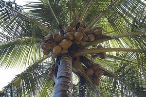 Hvad er kokos kokos?