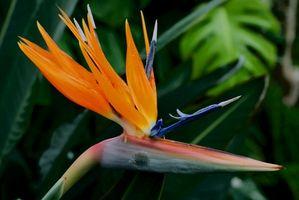Hvordan til at trimme en Bird of Paradise plante