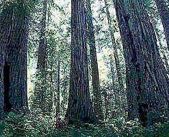 Sådan Care for Western Red Cedar