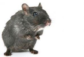 DIY Human Mouse fælder