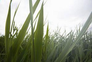 Hvid svamp på græs