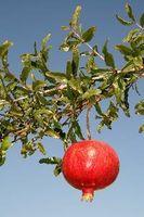 Hvad kan granatæble træer bruges til?