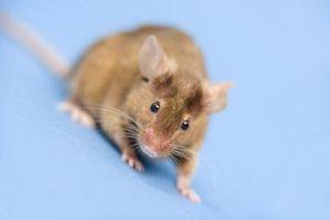 Hvordan til at afskrække mus, rotter & modermærker naturligvis fra din værftet