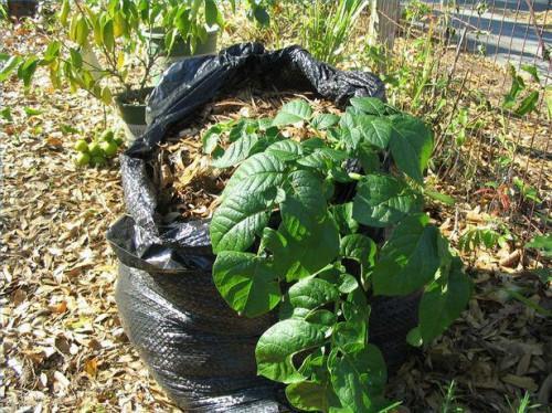 Hvordan man dyrker kartofler i en affaldssæk