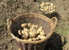 Plantning instruktioner for kartofler