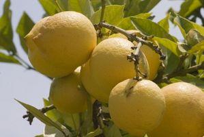 Hvordan at slippe af med stanken Bugs på en citron træ