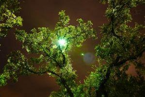 Sådan Beskær Pomelo træer