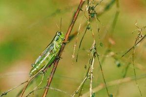Insekter, der æder haver